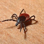 11 Strategies to Remove Ticks from Your Dog