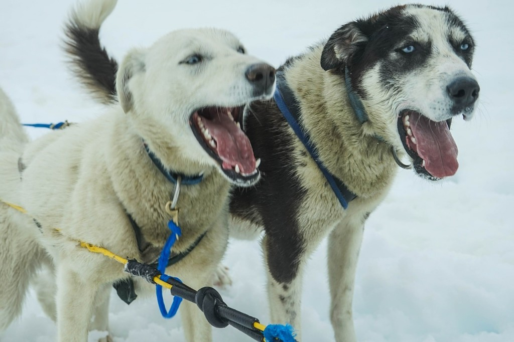dogs barking in ice