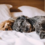 Benefits and Disadvantages of Letting Your Dog Sleep On Your Bed