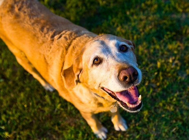 old dog labrador