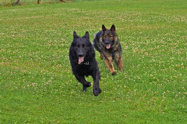 old dogs running
