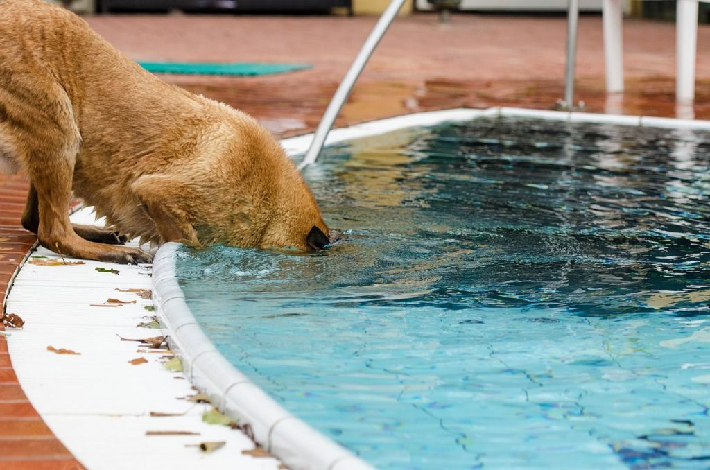 Chlorine 101 Are Chlorinated Pools Safe For Your Dog Barkily