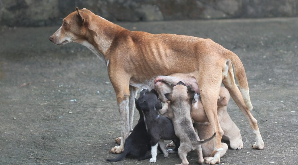 taking care of pregnant dogs