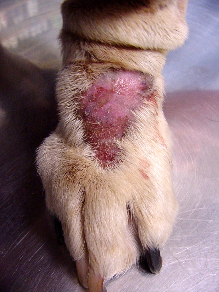 dog wound open